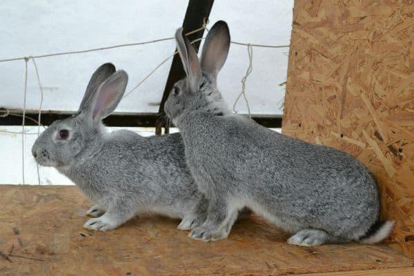 Кролики, породы советская шиншилла: характеристики и описание