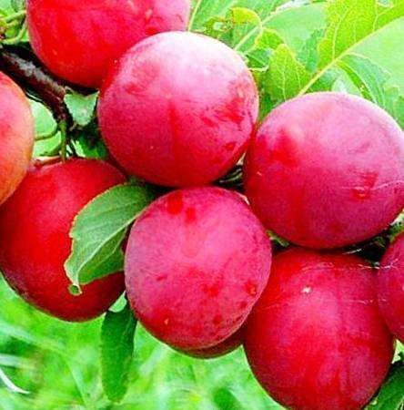 Слива китайская красный шар — свойства и секреты выращивания