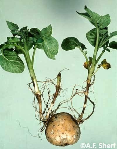 Ризоктониоз (черная парша) картофеля: описание и меры борьбы