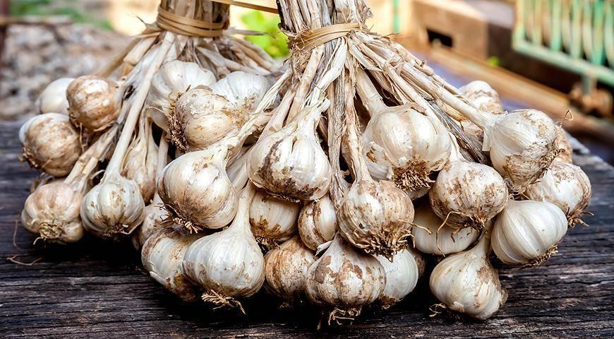 Описание сорта чеснока китайский, как вырастить и когда выкапывать?