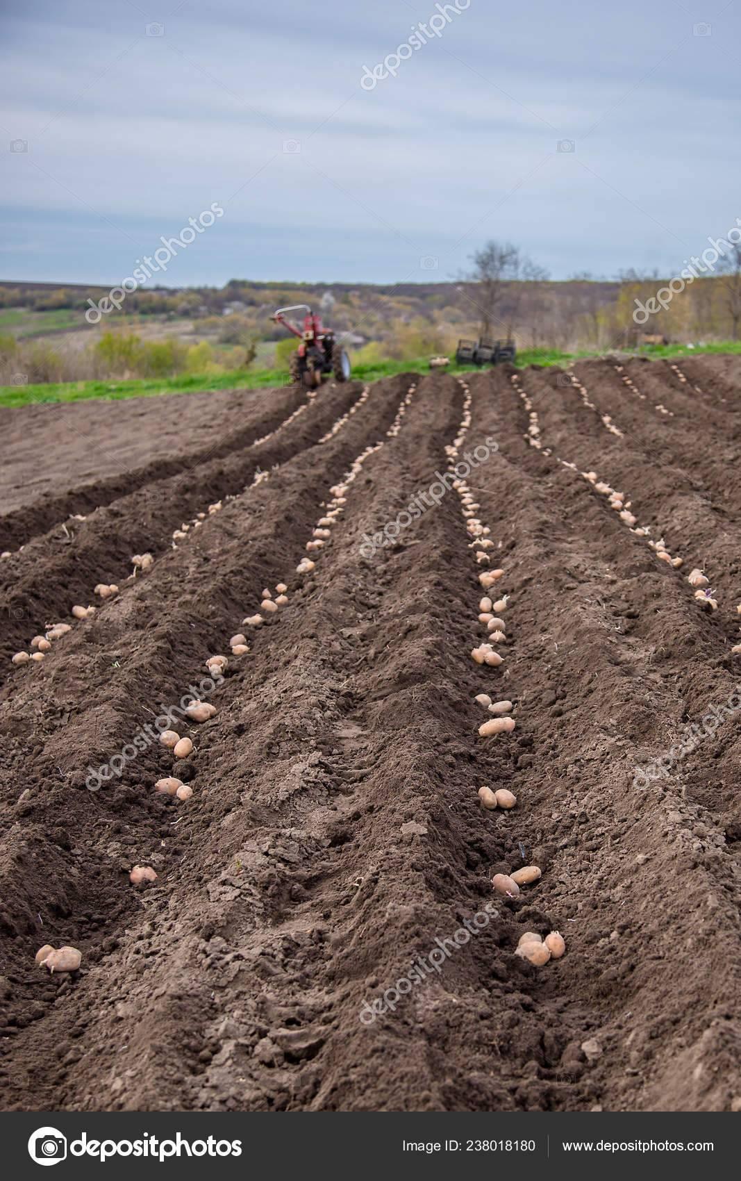 Традиционные и новые способы выращивания картофеля: плюсы и минусы каждого