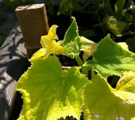 Почему сохнут и желтеют листья у рассады огурцов: как лечить