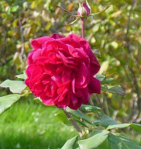 Канадская роза: сорта, описание и фото