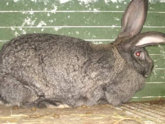 Порода кроликов — баран. подвиды, их особенности и содержание
