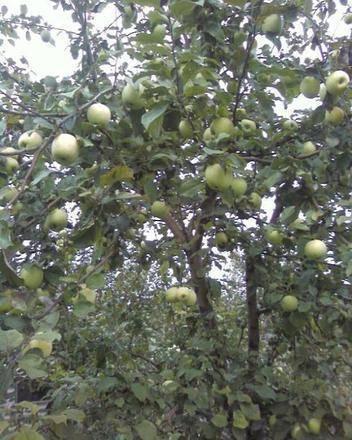 Особенности посадки и ухода за яблоней сорта синап
