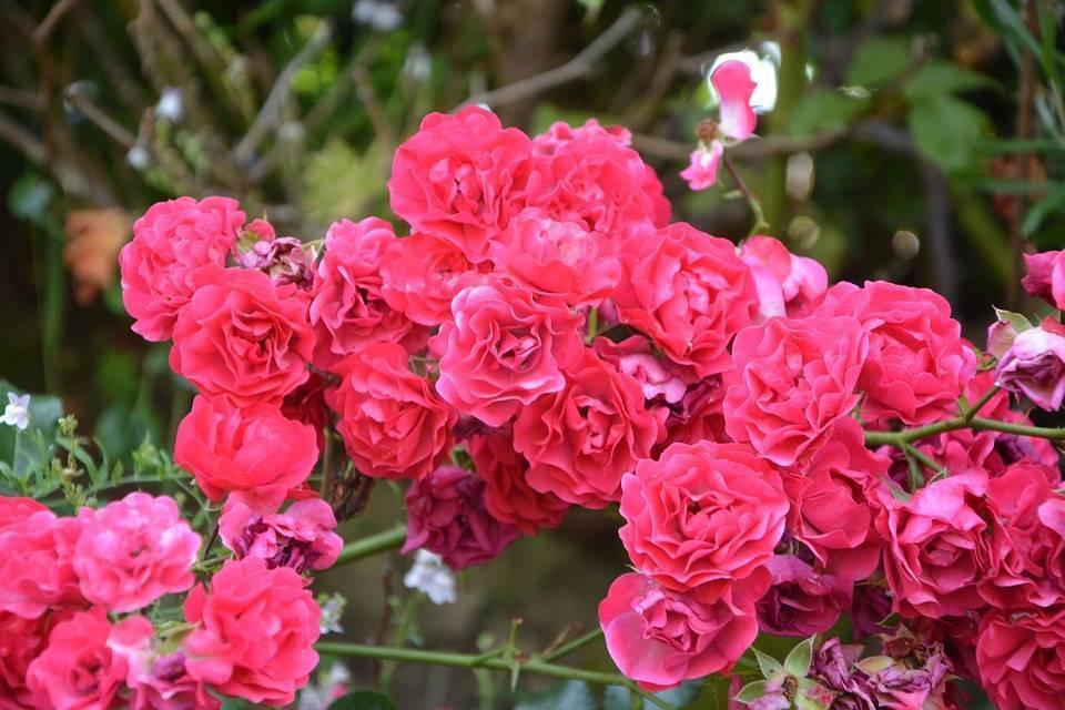 Розы миниатюрные: горшечные и садовые