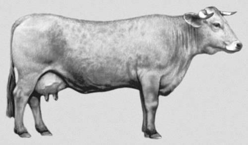 Ярославская молочная порода коров: характеристика, описание мяса, сколько дают молока — отзывы и фото владельцев — moloko-chr.ru