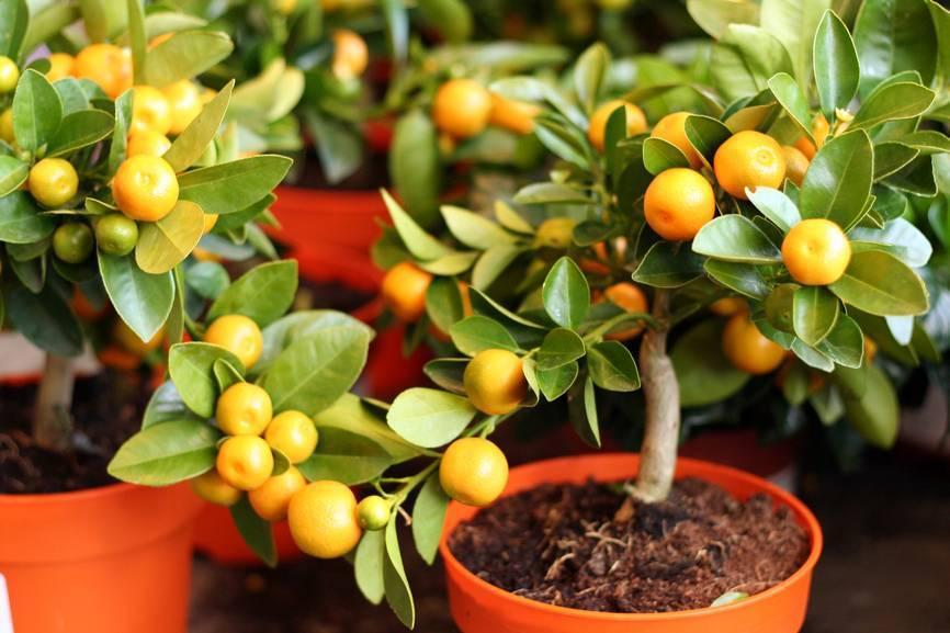 Как вырастить мандарин - основные правила посадки и ухода