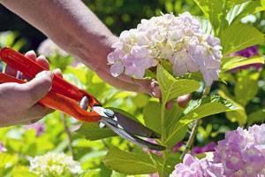 Обрезка гортензии весной - секрет ее цветения   красивый дом и сад