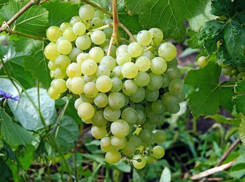 Виноград в ленобласти