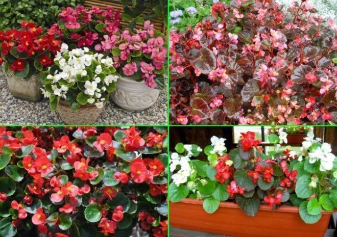 Выращивание бегонии вечноцветущей из семян: сроки и правила посева на рассаду вечноцветущей бегонии в домашних условиях