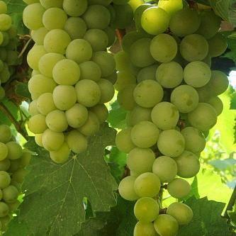 Цитронный магарача – виноград для виноделия, 9 особенностей и советы по посадке и уходу