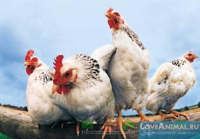 У курицы забился зоб: что делать?