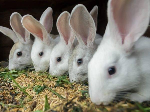 Ответим на вопрос чем кормить кормящих крольчих: основные принципы питания - общая информация - 2020