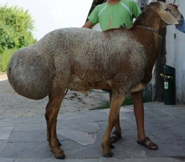 Самое продуктивное хозяйство с гиссарскими овцами