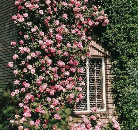 Плетистые розы в саду, сорта, описание, фото   выращивание, уход за розами, сорта и букеты из роз