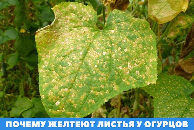 Почему у рассады огурцов сохнут края листьев или они скручиваются и желтеют: распространенные причины и методы борьбы с этими болезнями