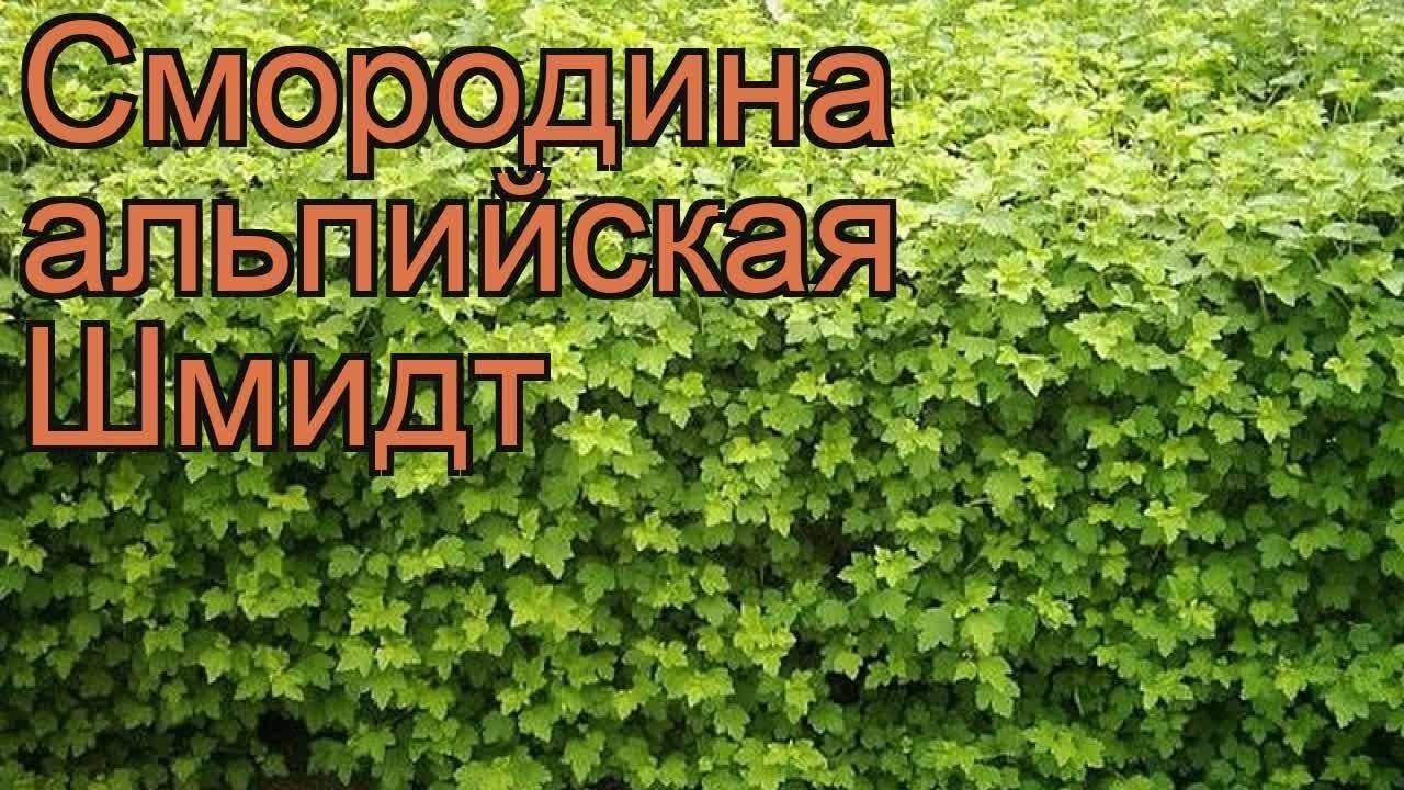 Смородина: описание, посадка в открытый грунт, уход весной, летом и осенью, размножение, популярные сорта (23 фото & видео) +отзывы