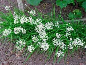 Чеснок китайский: описание вида, выращивание, вреден ли, почему зеленеет, когда выкапывать, фото