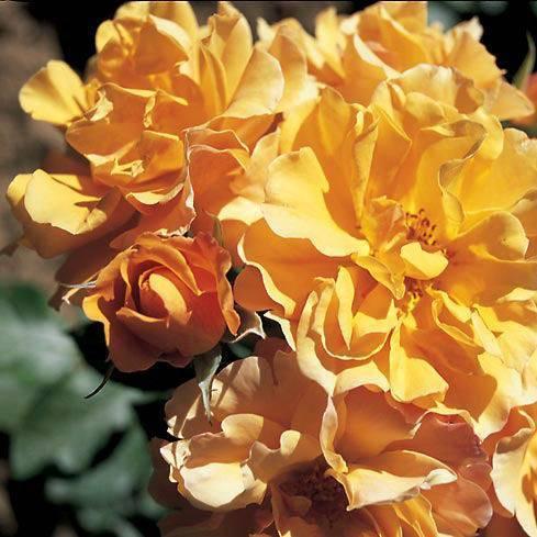 Описание сорта роз текила (tequila sunrise). парковые описание: розы tequila
