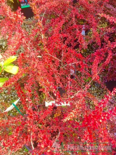 Барбарис тунберга грин карпет (green carpet)