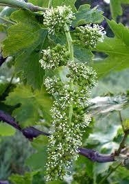 Выращивание виноградной лозы — основные правила и условия