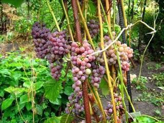 Виноград «рилайнс пинк сидлис»: один из наиболее морозоустойчивых сортов