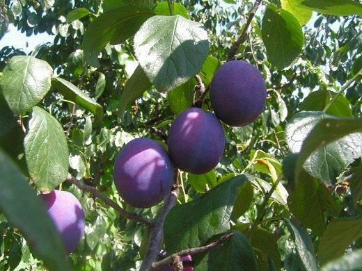 О сливе маньчжурская красавица: описание сорта, агротехника выращивания