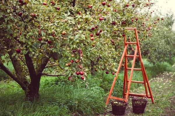 Изучаем ранние сорта яблонь