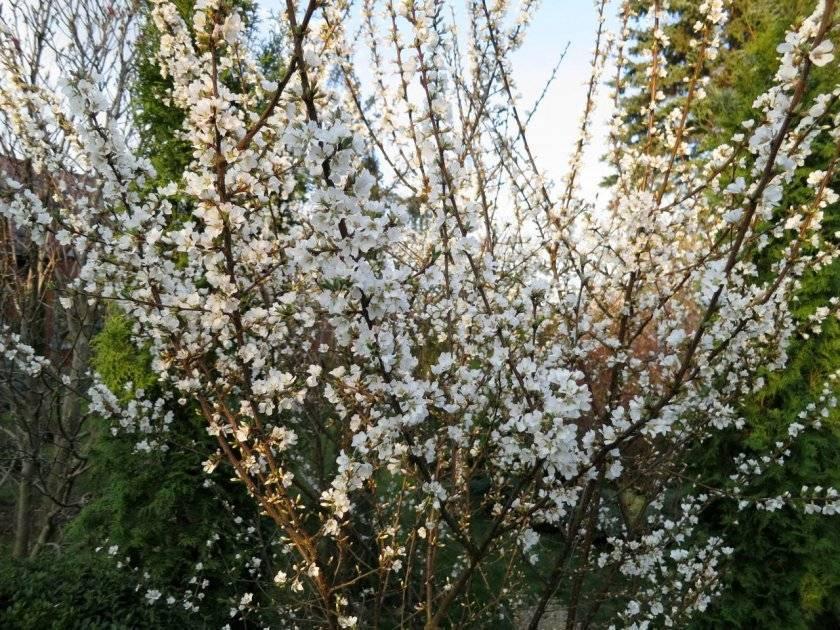 Особенности выращивания вишни харитоновская и ухода за ней