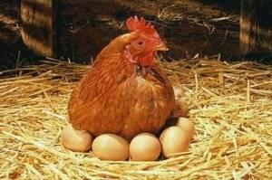 Несушка села на яйца — как приучить и как отучить домашнюю птицу высиживать яйца