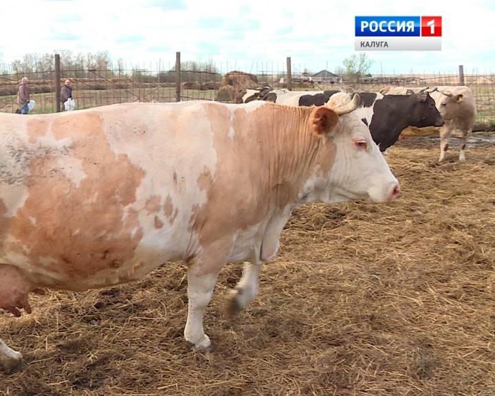 В сибири 70% коров заражены лейкозом. как это влияет на мясо и молоко?