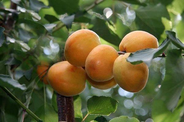 Дерево абрикос: посадка и уход, фото, обрезка, прививка, описание сортов, болезни и вредители