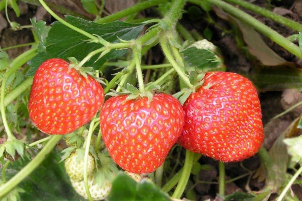 Дрожжевая подкормка для клубники: когда полить во время цветения и плодоношения
