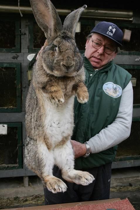 Все о кроликах великанах