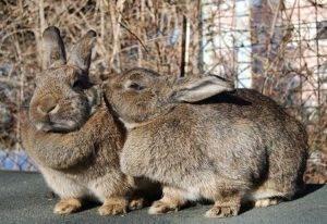 Сколько лет живут кролики?