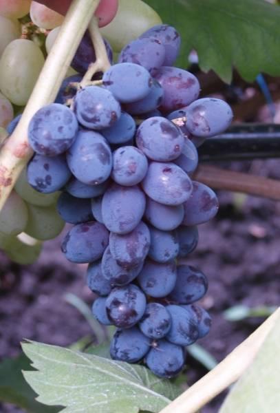 Юпитер — бескосточковый сорт винограда