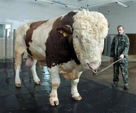 Выход мяса крс. вычисление веса коровы