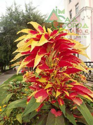 Амарант: полезные свойства и применение растения