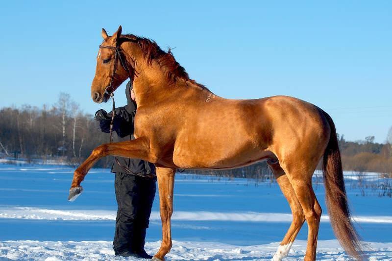 Донская лошадь — википедия