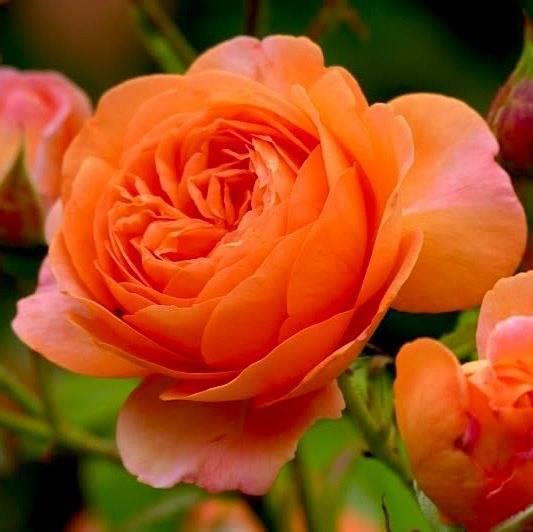 Роза леди бомбастик (miss bombastic) — характеристики шарообразного куста
