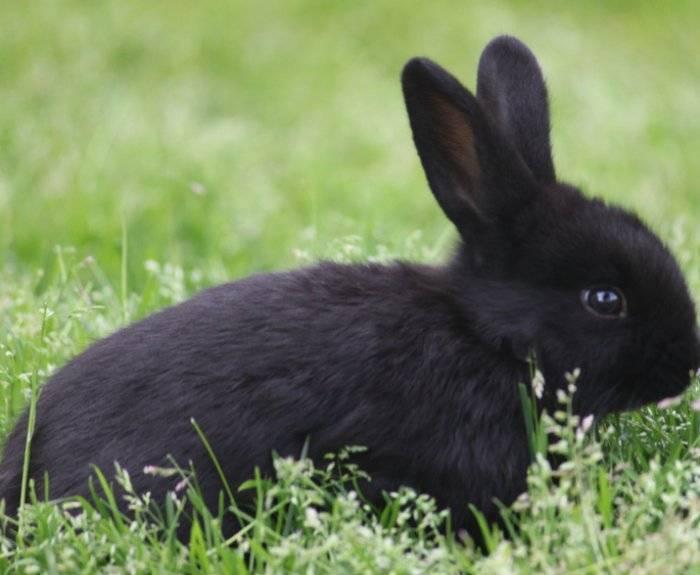О черном кролике: обзор разновидностей и описание породы, уход и разведение
