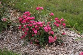 Мульчируют ли розы опилками