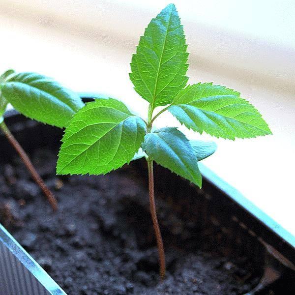 Выращивание яблони из семечка (косточки) в домашних условиях