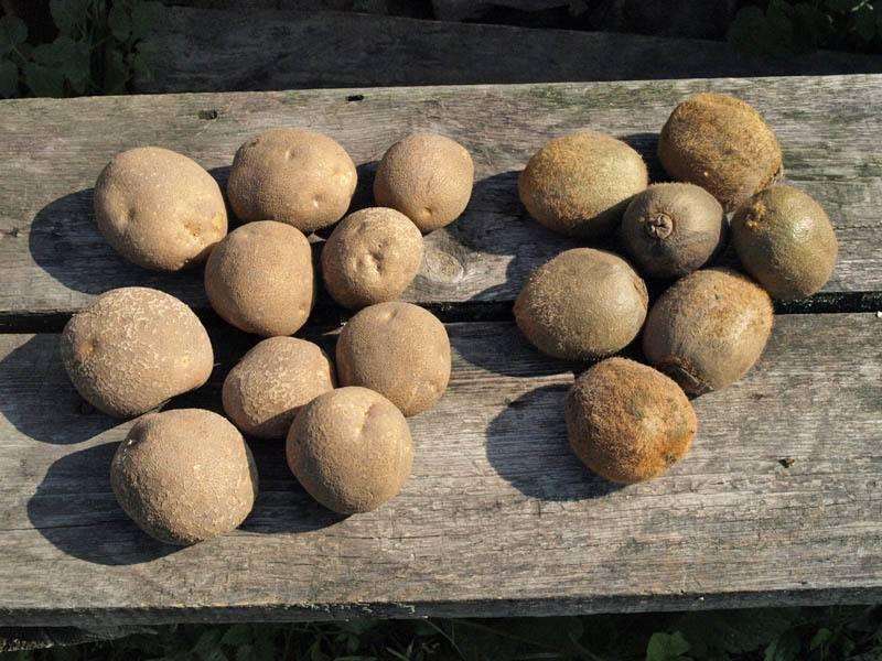 Киви: описание семенного сорта картофеля, характеристики, агротехника