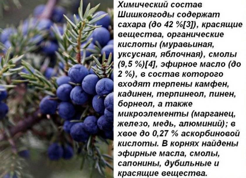Можжевельник лечебные свойства и противопоказания ягоды можжевельника применение