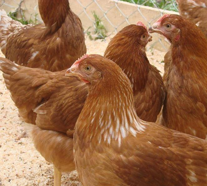 Куры фокси чик — порода цыплят или кросс