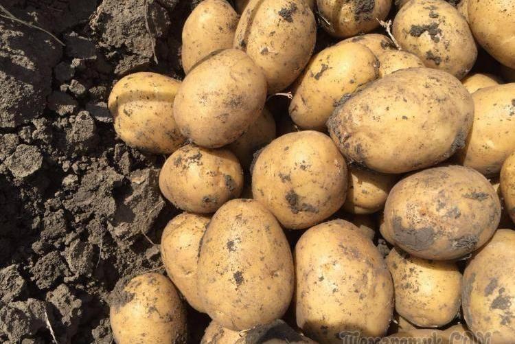 Картофель манифест: описание сорта, фото, характристика