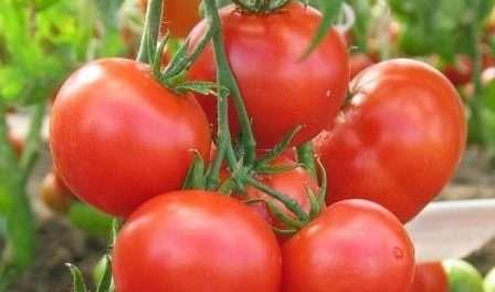 Томат семеновна: отзывы, фото, урожайность | tomatland.ru