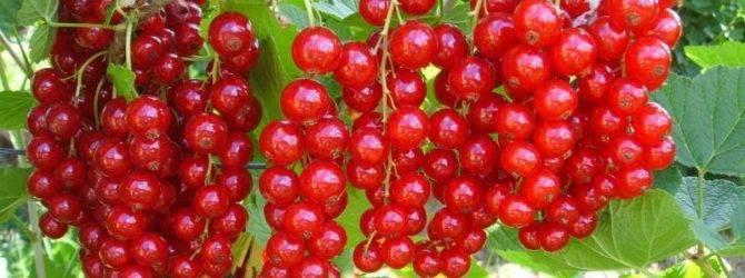 Красная смородина памятная: основные характеристики сорта